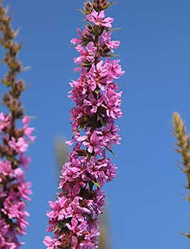purple_loosestrife2