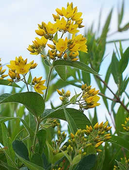 yellow_loosestrife